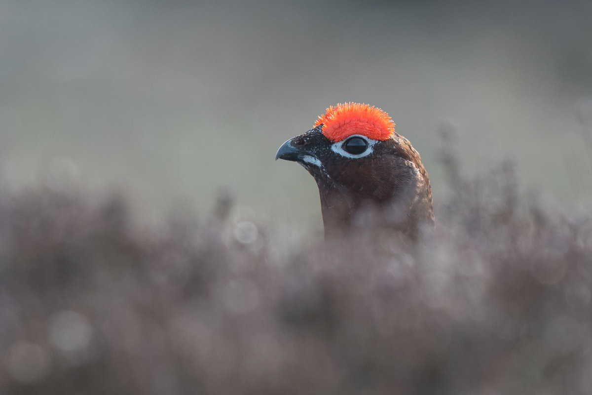 Red grouse wondering if it's safe to come out yet, 70 kb